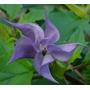 Datura Azul Quercifolia Flor Sementes Para Mudas