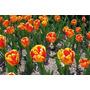 Bulbo De Tulipa