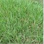 1kg Sementes De Grama Batatais E Pensacola P/formação Rápida
