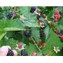Muda Amora Preta Gigante Blackberry - Silvestre