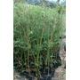 Bambu Multiplas Folhas (b. Multiplex)+manual 100 Sementes