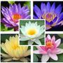 Nymphaea Lotus - Water Lily - Blue Lotus- Sementes