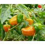1000 Sementes De Pimenta Habanero Orange Laranja Ardida Rara