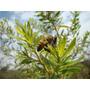 Sementes De Alecrim Do Campo - Baccharis Dracunculifolia