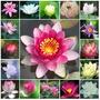 Nymphaea Lotus Water Lily Lotus Lilies Sementes Para Mudas