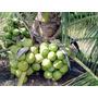 25 Mudas De Coqueiro Coco Anão Precoce Verde Grande