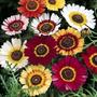 Crisântemo Sunshine Carinatum Flor Sementes P/ Mudas +brinde