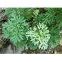 1600 Sementes Da Losna Absinto Artemisia Frete Gratis