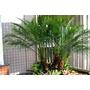 20 Sementes De Palmeira Phoenix Fênix Anã Com Frete Grátis