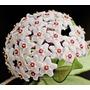 2 Mudas Flor De Cera Hoya Carnosa-com 1 Folha-exótica