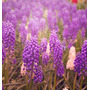 Sementes Flor Jacinto Uva, Muscari Spp Floração Mix Jardim