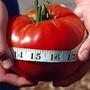 Sementes Tomate Gigante Do Guinness + Frete Gratis! #w508
