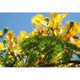 20 Sementes De Flamboyant Amarelo Com Frete Grátis.