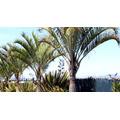 10 Sementes De Palmeira Triangular Com Frete Grátis