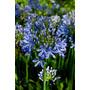 African Lily - Agapanthus Africanus - Sementes Para Mudas