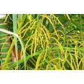 20 Sementes De Palmeira Areca Bambu Com Frete Grátis.