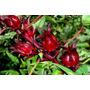 Roselle - Vinagreira - Hibiscus Sabdariffa - Sementes Mudas
