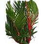 Sementes De Palmeira Laca Cyrtostachys Renda Maravilhosa