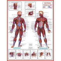 Mapa Do Sistema Muscular - Gigante !!! 120 X 90cm