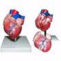 Coração Tamanho Natural Com Duas Partes - Anatomia Humana