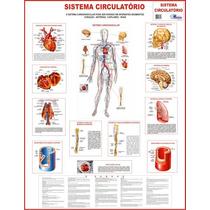 Mapa Do Sistema Circulatório - Gigante !!! 120 X 90cm