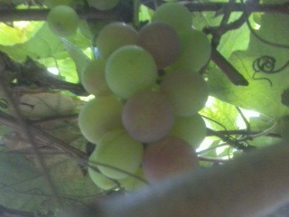 Muda Da Deliciosa Uva Niagara - Parreira