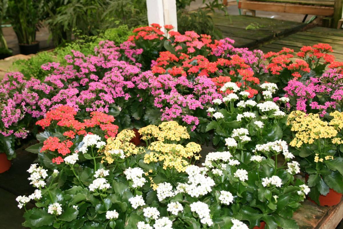 mudas calachoes (kalanchoe) c flores 3 mudas por r$ 20,00