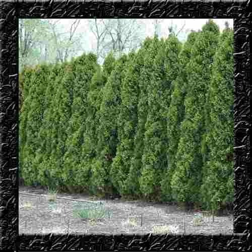 plantas para jardim cerca viva ? Doitri.com