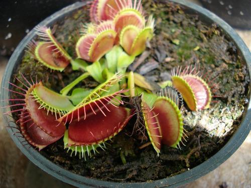 Novo! Sementes Frescas De Dionaea Muscipula - Venus Flytrap