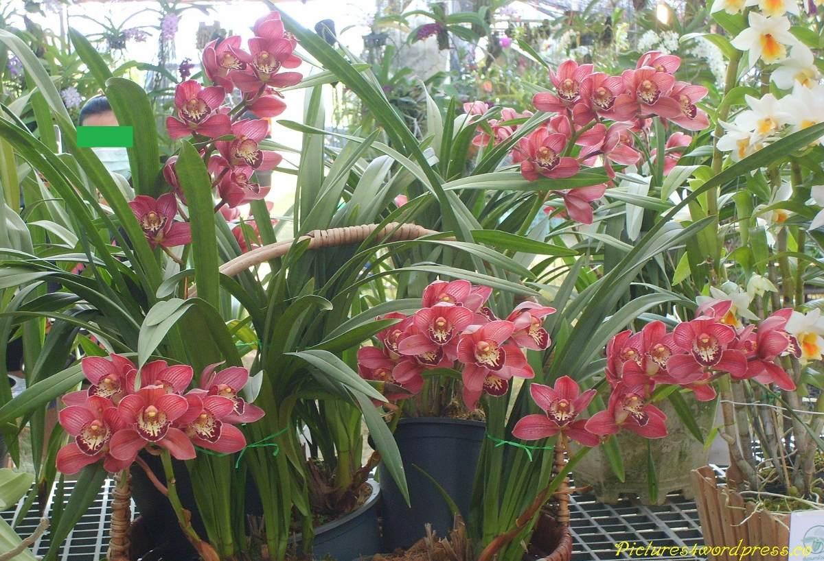 Orquidea Cymbidium Pink R$ 30 00 no MercadoLivre #8D3E45 1200x818