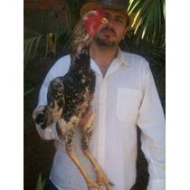 Dúzia De Ovos De Galos/galinhas Índio Gigante Com Pedigree