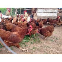 Ovos Galados Galinha Caipira Embrapa 051, Dúzia De 15 Ovos