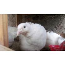 Ovos De Codornas Gigantes Galados( Brancos E Marrons)