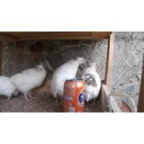 Ovos Galados De Codornão Marrom(codorna Gigante)