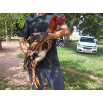Ovos Galados Do Verdadeiro Índio Gigante