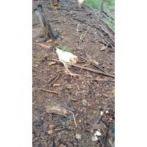Ovos De Aves Indio Gigante