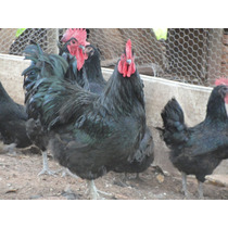 Gigante Negra De Jersey - Ovos Galados