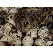 Super Promoção Ovos De Codorna Galados Japonesa 12por 15