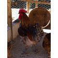 Ovos Galados -galinhas Raça Caipira Pesadão