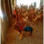 Ovos Galados Cruzamento Indio Gigante+poedeira Embrapa 051