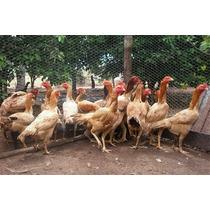 Ovos De Galinhas Gigantes Osasco Sorocaba