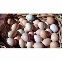 Ovos E Pintinhos Da Raça Indio Gigante