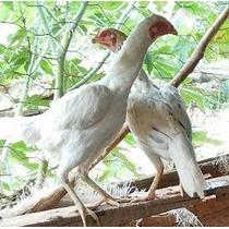 Ovos Galados De Galinhas Índias Brancas