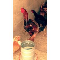 Ovos Galados Cruzamento Indio Gigante + Embrapa 051