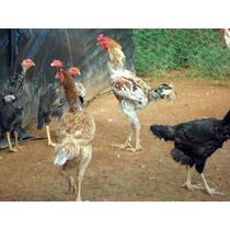 Ovos Galados De Indio Gigante Duzia De 15 Ovos Selecionados