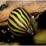 Caramujo Neritina Zebra - Devoradora De Algas