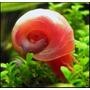 Caramujo Pink Ramshorn - Pacote Com 5 - (planorbis Corneus)