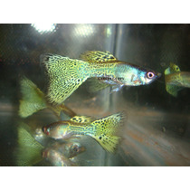 ## Guppy ## ( Lebister ) ## Metal Yellow Snakeskin ##