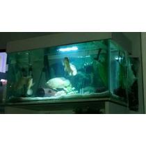 Criação De Peixes Ciclídeos Diversos Mais Aquários E Equipam