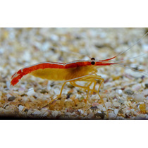 Camarão Lysmata Grabhami ( Cleaner Shrimp)